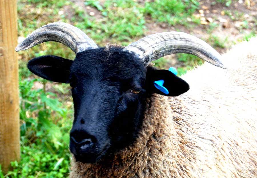 A Norfolk Horn shearling ewe